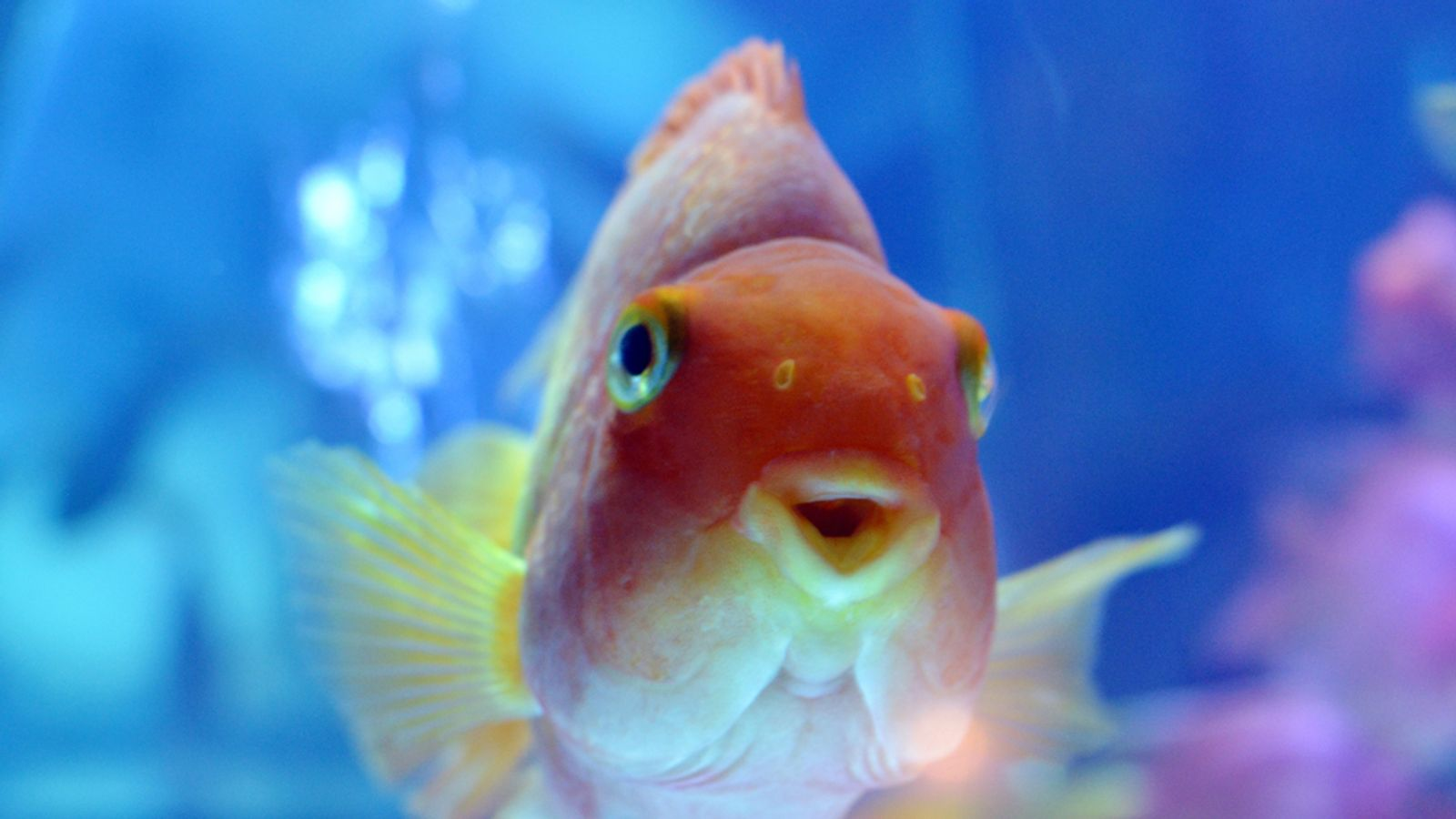 Goldfish turn to alcohol to get through winter in icy ponds for What fish can live with goldfish
