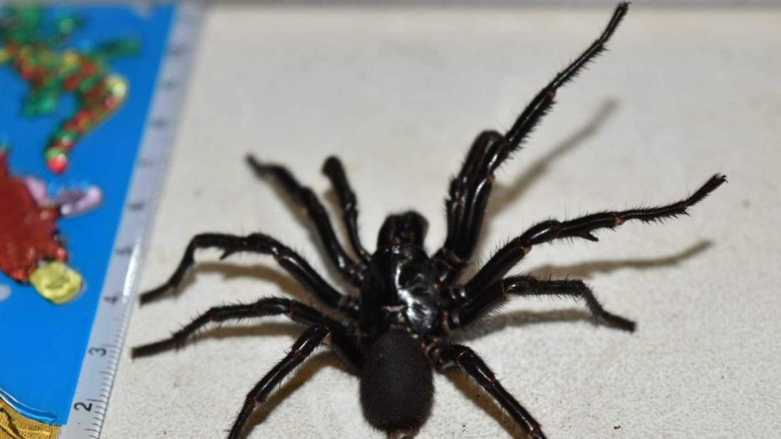 Big Boy Sydney funnel-web spider handed in to Australian Reptile Park
