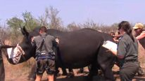 A rhino being helped in Kruger National Park