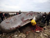 50ft sperm whale beached in Norfolk
