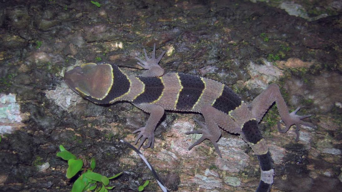 The zebra-striped lizard, a decorative gecko.