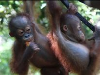 Baby orangutans at a rescue centre