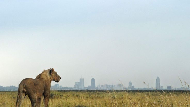 190216 A young lion looks towards the Nairobi skyline at the Nairobi national park