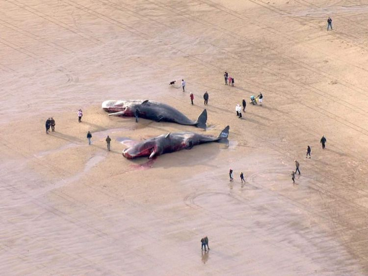 dead whales on beach Skegness