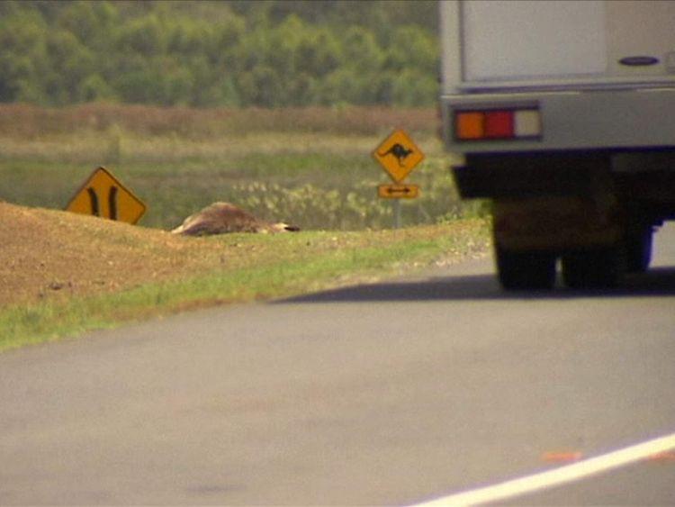 Kangaroos deliberately run down
