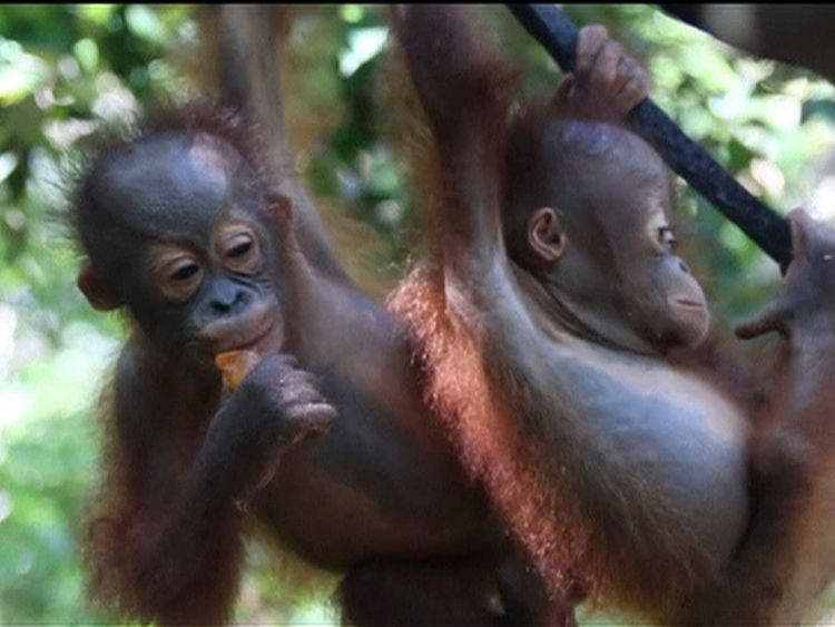Baby orangutans at a rescue centre