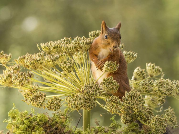 A red squirrel on top of a hogweed plant
