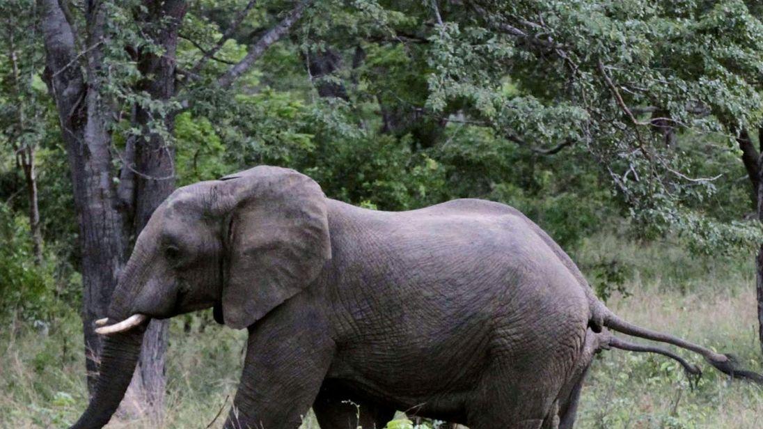 A pair of elephants walks inside Zimbabwe's Hwange National Park