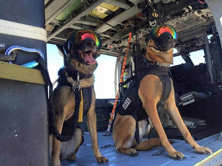 US Coast Guard Belgian Malinois take part in helicopter training in San Francisco Bay, California
