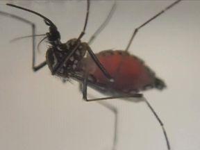 Q Zika Mosquito