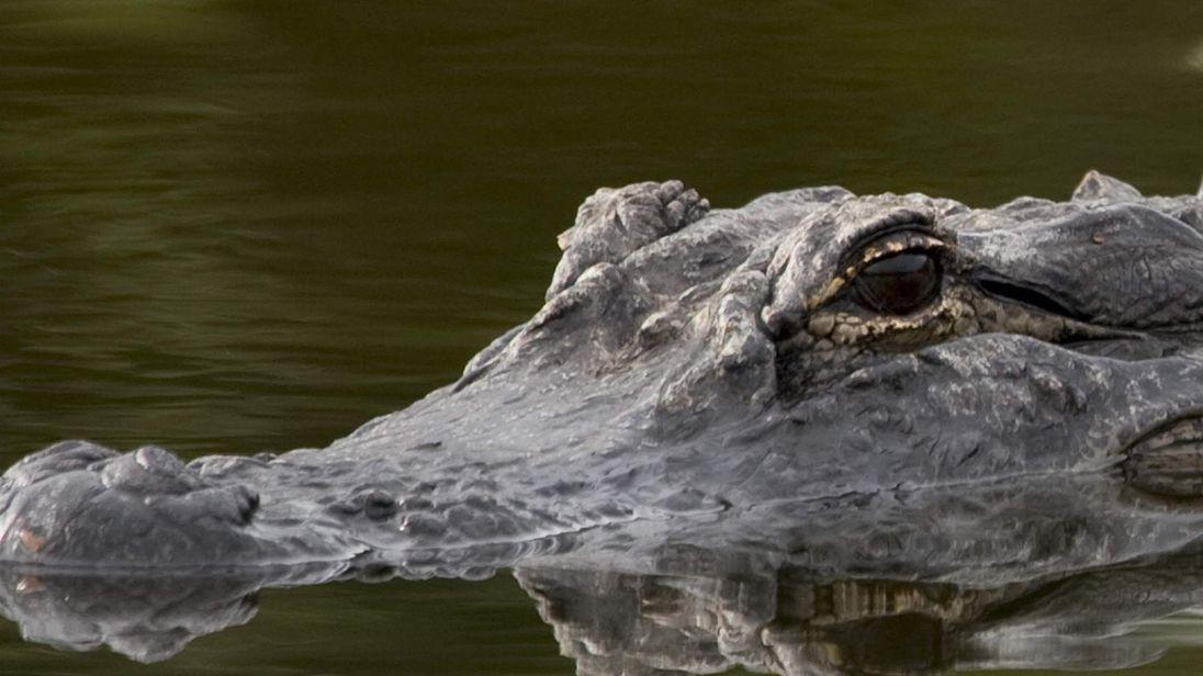 An alligator sits in a waterway in the Merritt Island National Wildlife Refuge in Florida.