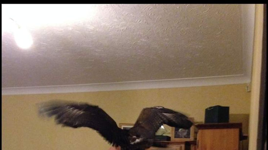 A woman was startled when a huge eagle swooped into her front room and landed on a cabinet while she was watching TV.