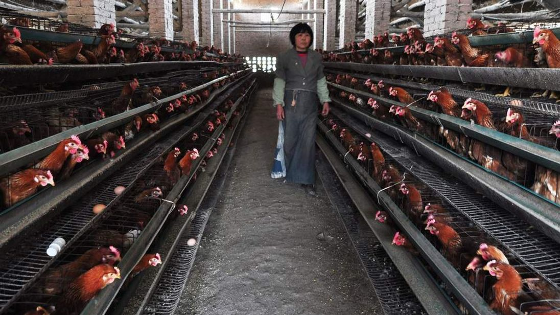 China bird flu outbreak