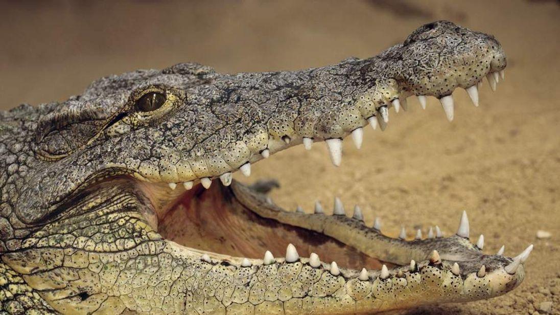 A crocodile in the River Nile