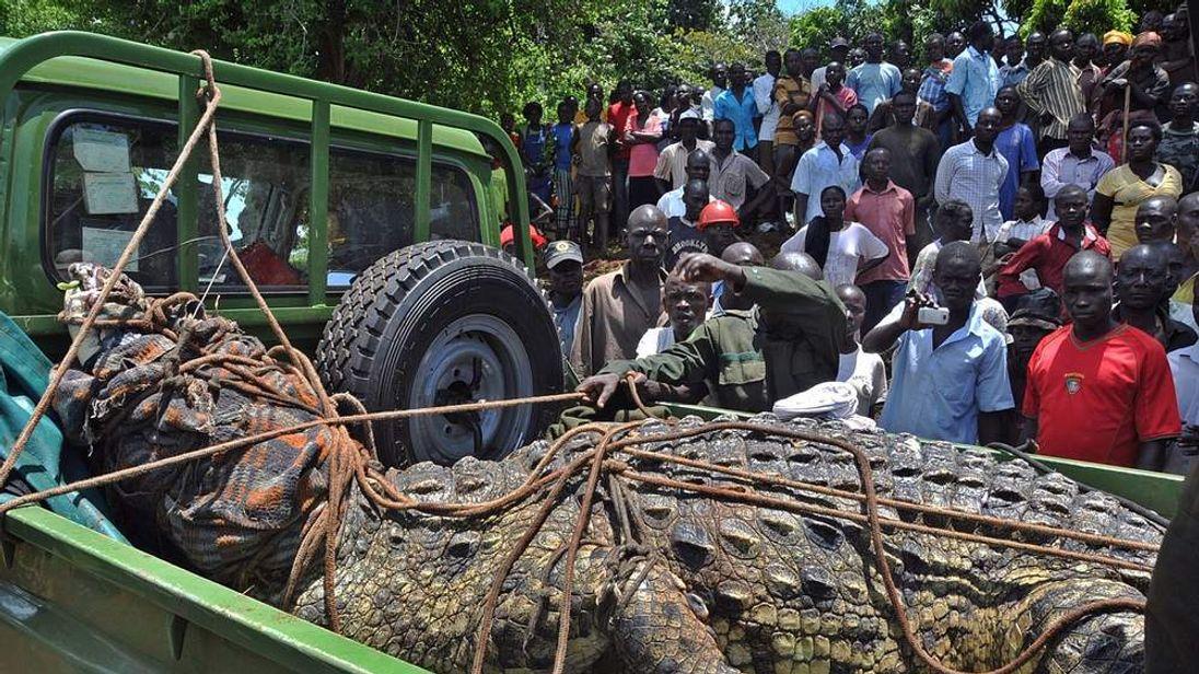Man-eating crocodile captured in Uganda
