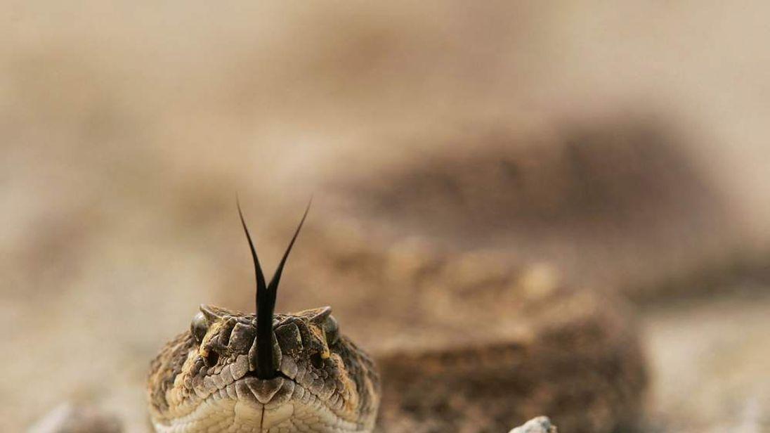 A rattlesnake tastes the air on the Cabeza Prieta National Wildlife Reserve.