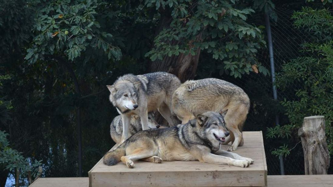 Grey or Timber Wolves in their enclosure in Colchester Zoo. Photo courtesy of Peter Taylor