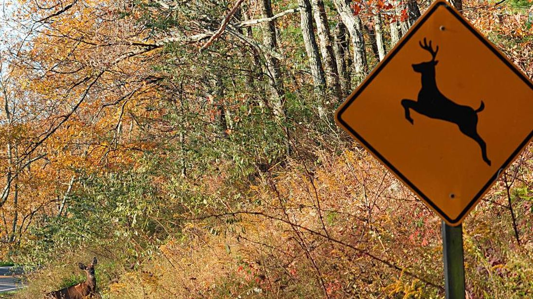 "A deer crosses at a ""deer crossing"" in Shenandoah National Park"