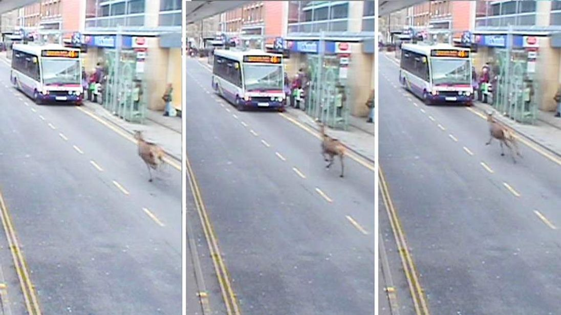 Deer in Chelmsford