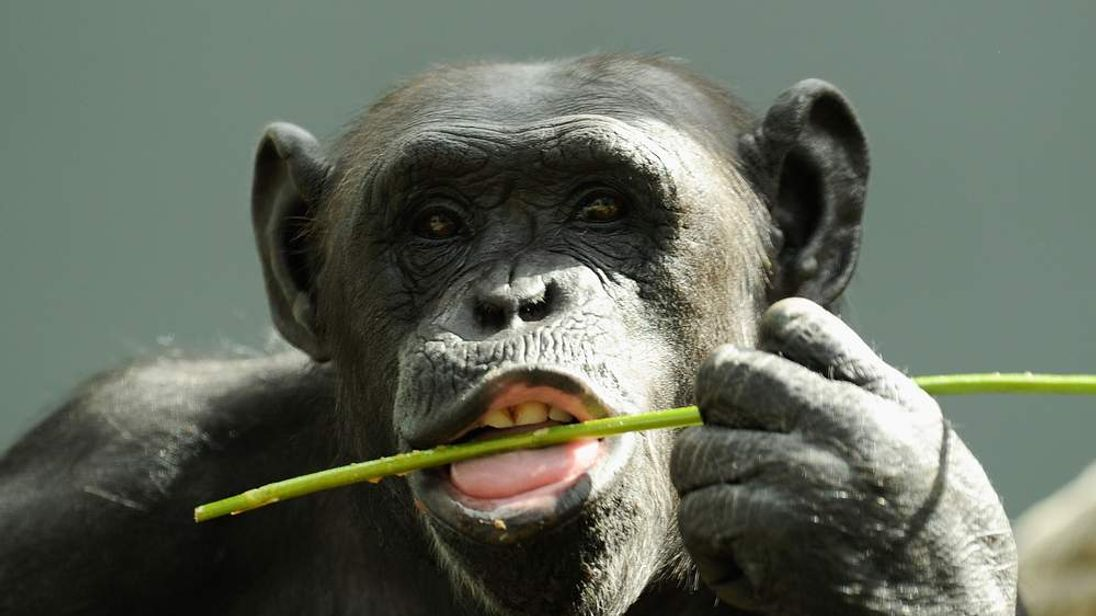 A Chimpanzee plays in it's new home at Taronga Zoo on December 2, 2009 in Sydney, Australia.