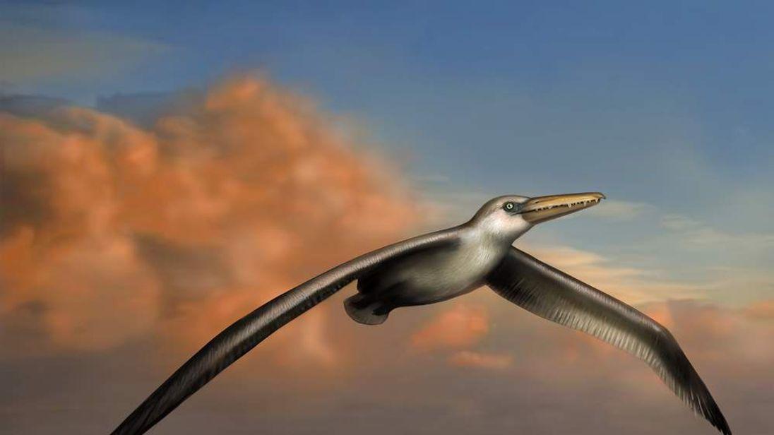 Pelagornis Sandersi Fossil Identified