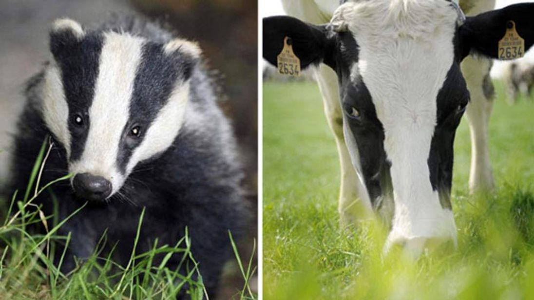 Badger and Cow