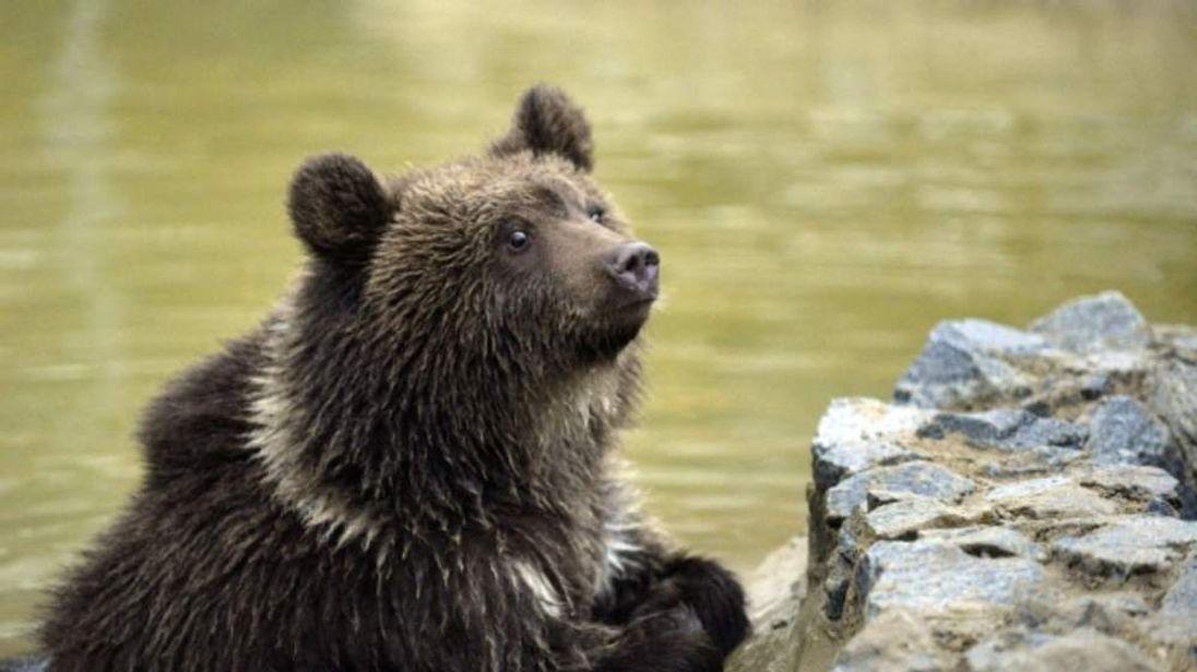 Bear cub Nastia.
