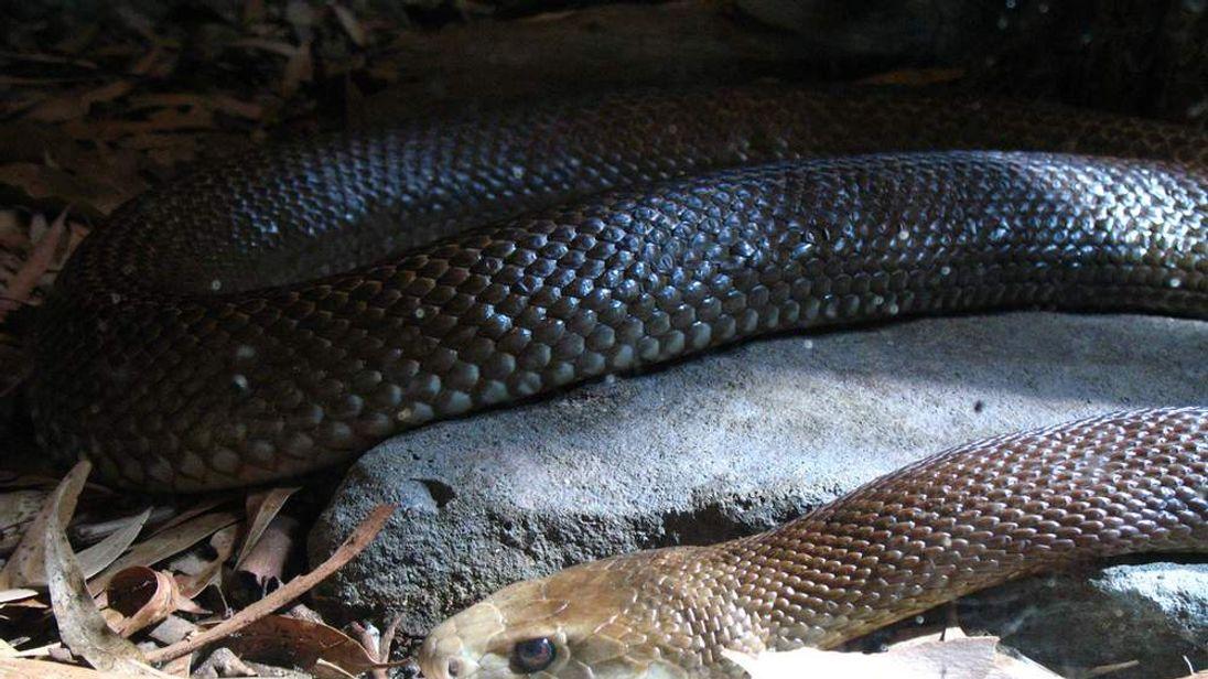 Coastal Taipan snake at Australia's Taronga Zoo