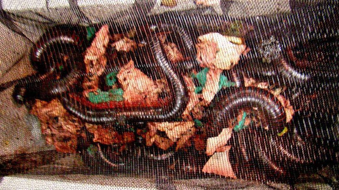 Giant millipede smuggling