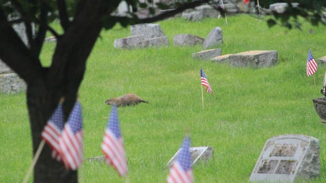 New York Cemetery Flag Vandal Was A Groundhog