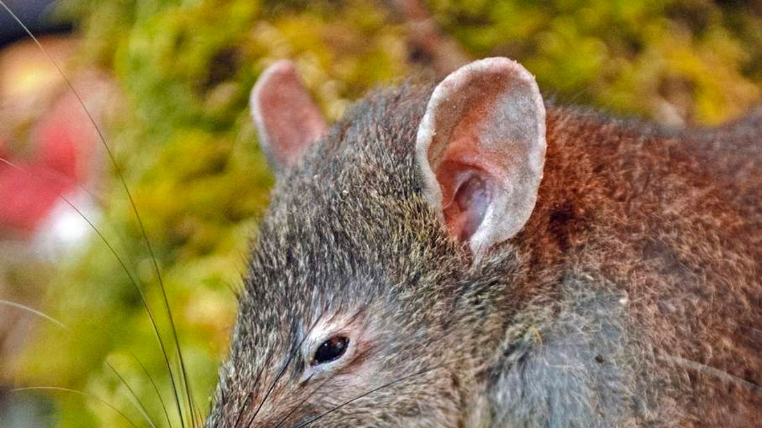 The newly discovered rat species of Paucidentomys vermidax