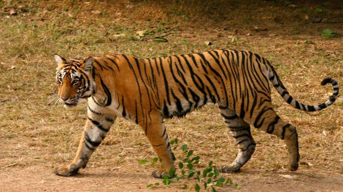 A tigress in India
