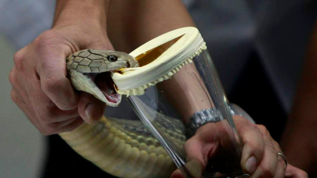 A member of staff demonstrates to tourists how to extract venom from a King Cobra snake at the snake farm in Thailand's Queen Saovabha Memorial Institute in Bangkok.