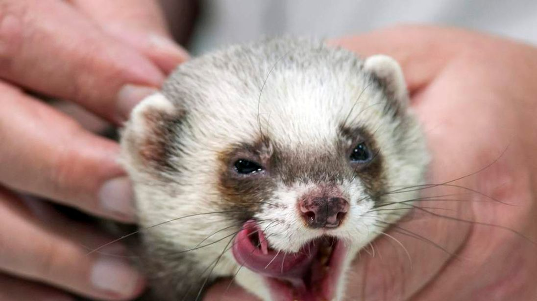 Ferret Fred is seen during a news conference in Kharkiv