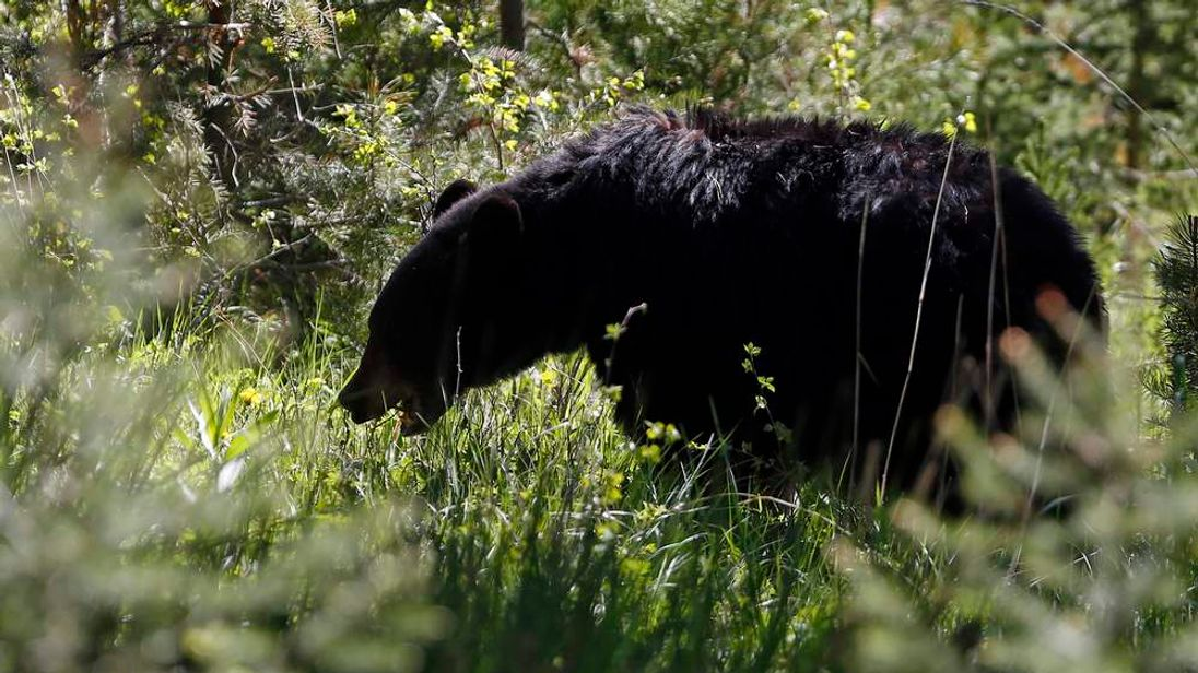 A black bear grazes on grasses in Yellowstone National Park, Wyoming