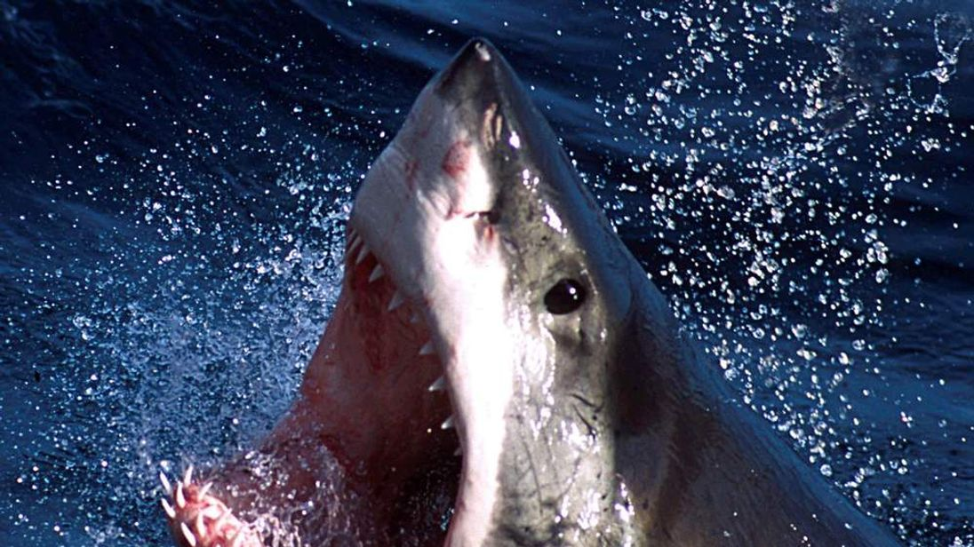 - An undated photo  - of a Great White shark which can now be repelled by a electronic shark shield...