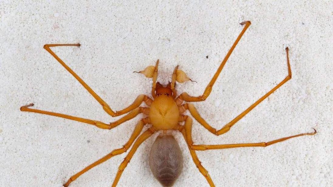 Trogloraptor - scary new spider found in US caves