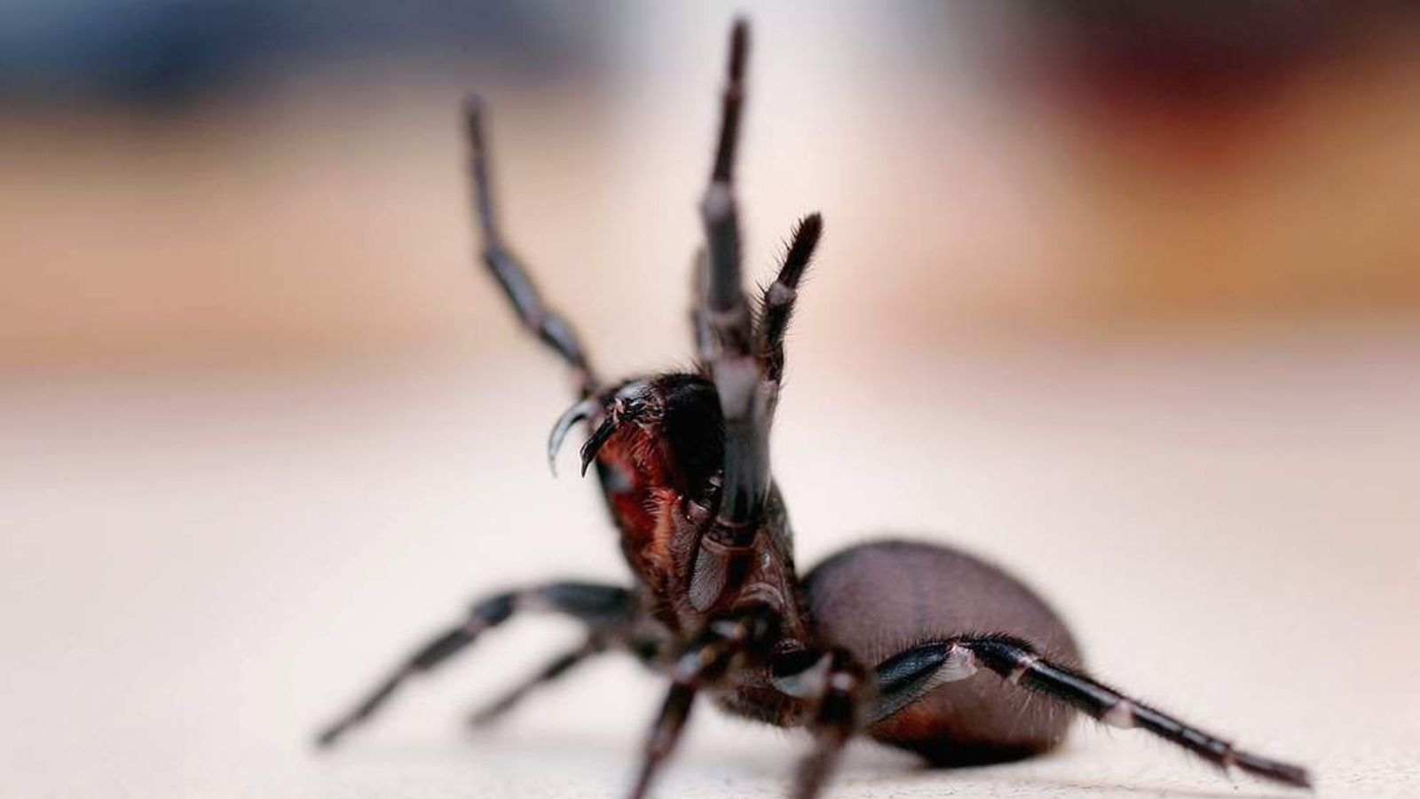 Funnel-web spider in Sydney, Australia, where anti-venom is running out