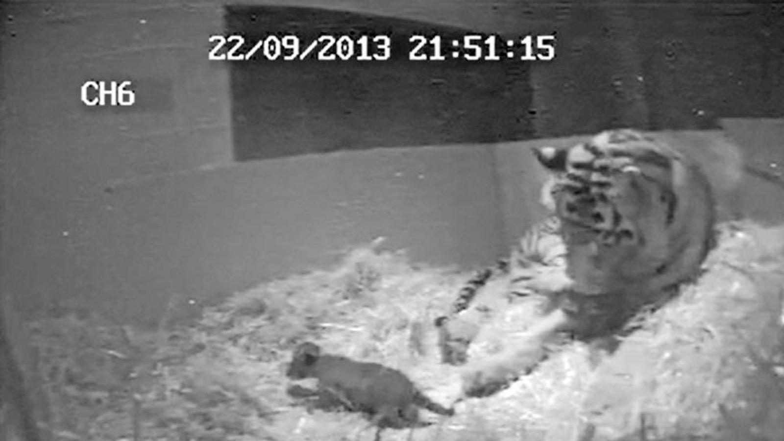 A Sumatran tiger cub is born at London Zoo