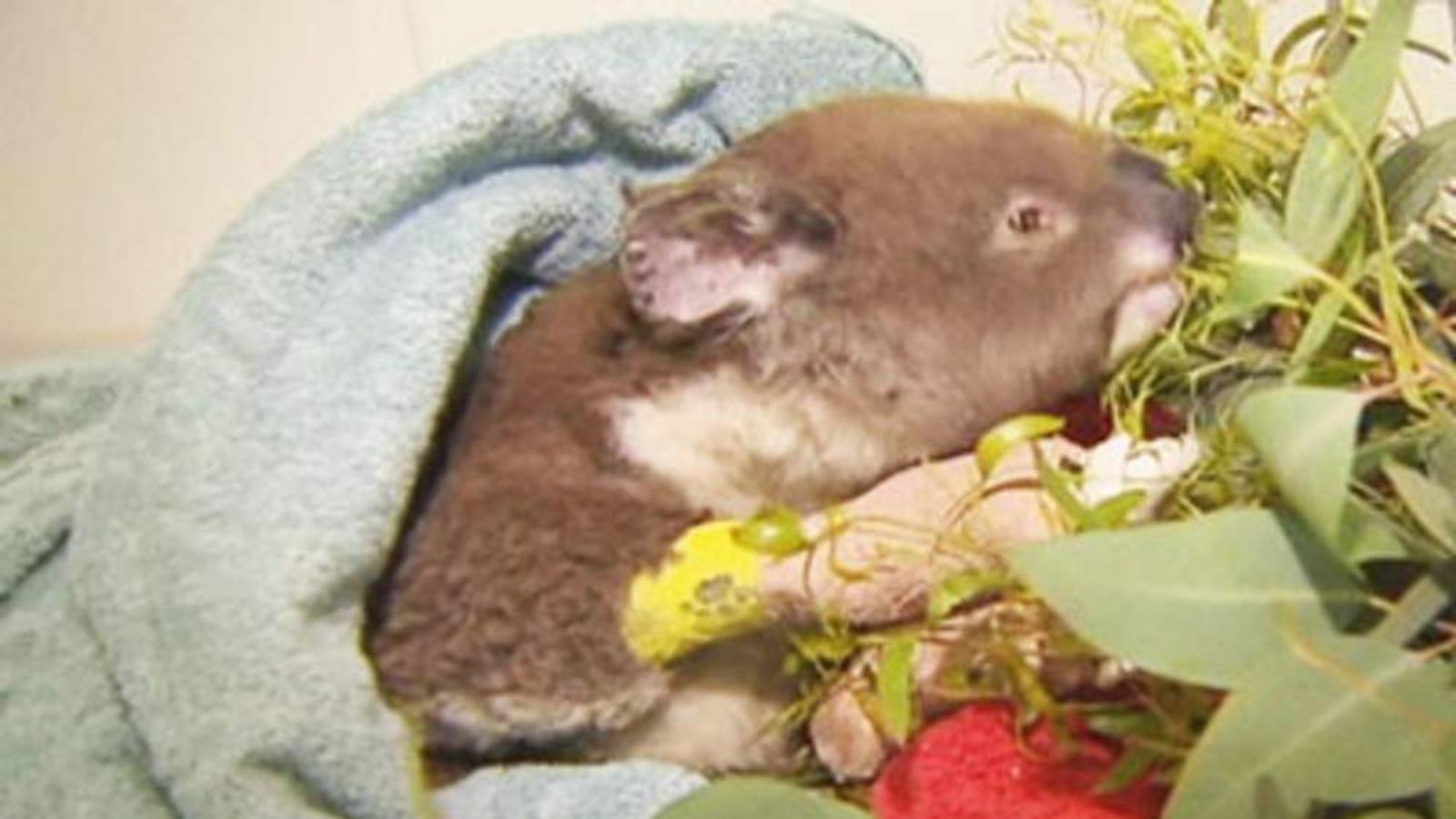 An injured koala receives treatment after being rescued from a bushfire in South Australia.
