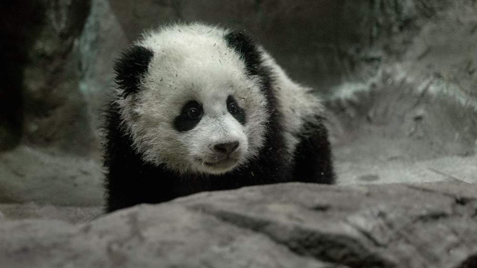 Panda Cub Bao Bao Makes Her Debut At Washington's National Zoo