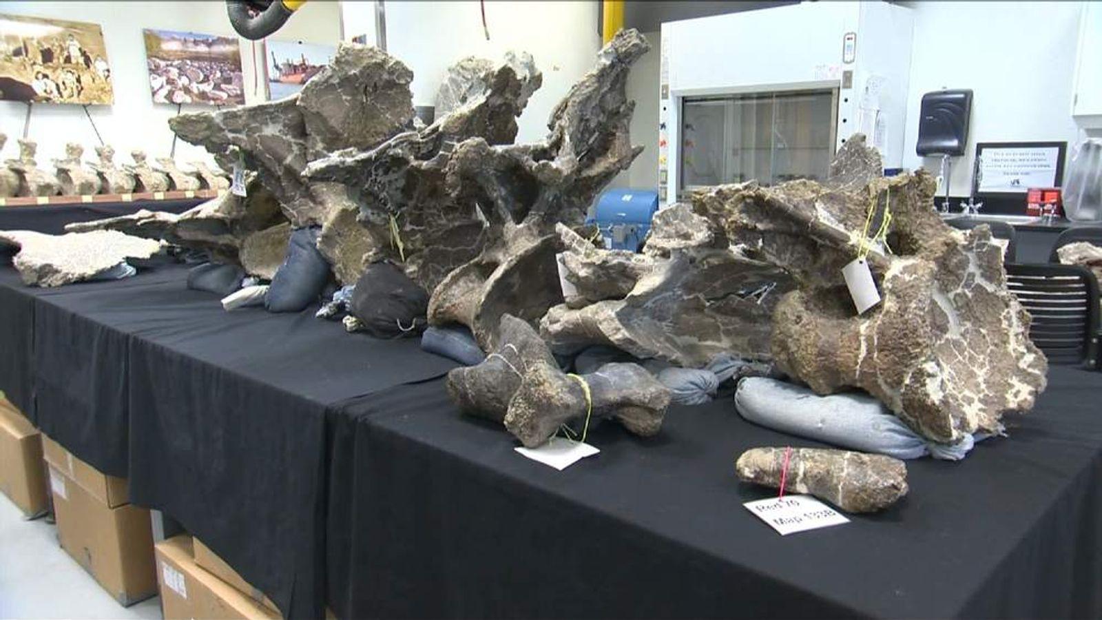 Bones of giant Dreadnoughtus dinosaur found in Argentina