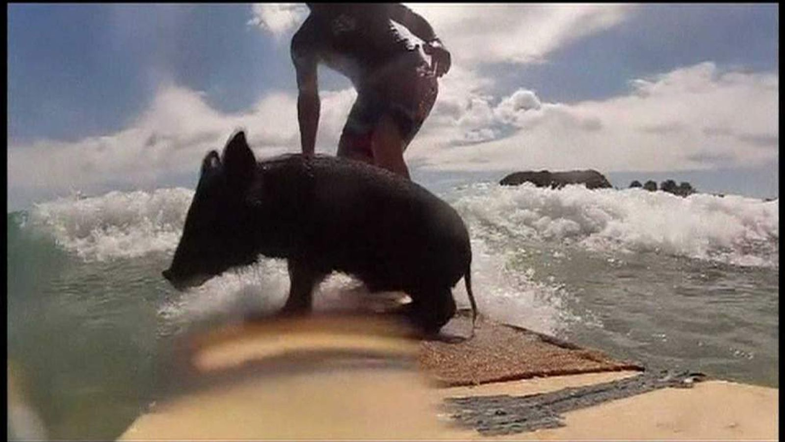Zorro the pig makes waves in New Zealand.