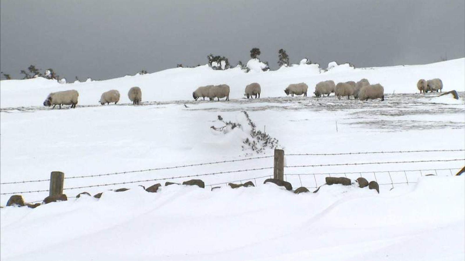 Sheep in Antrim, Northern Ireland