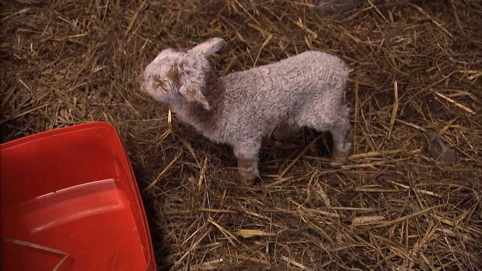 Lamb born while buried in a snow drift