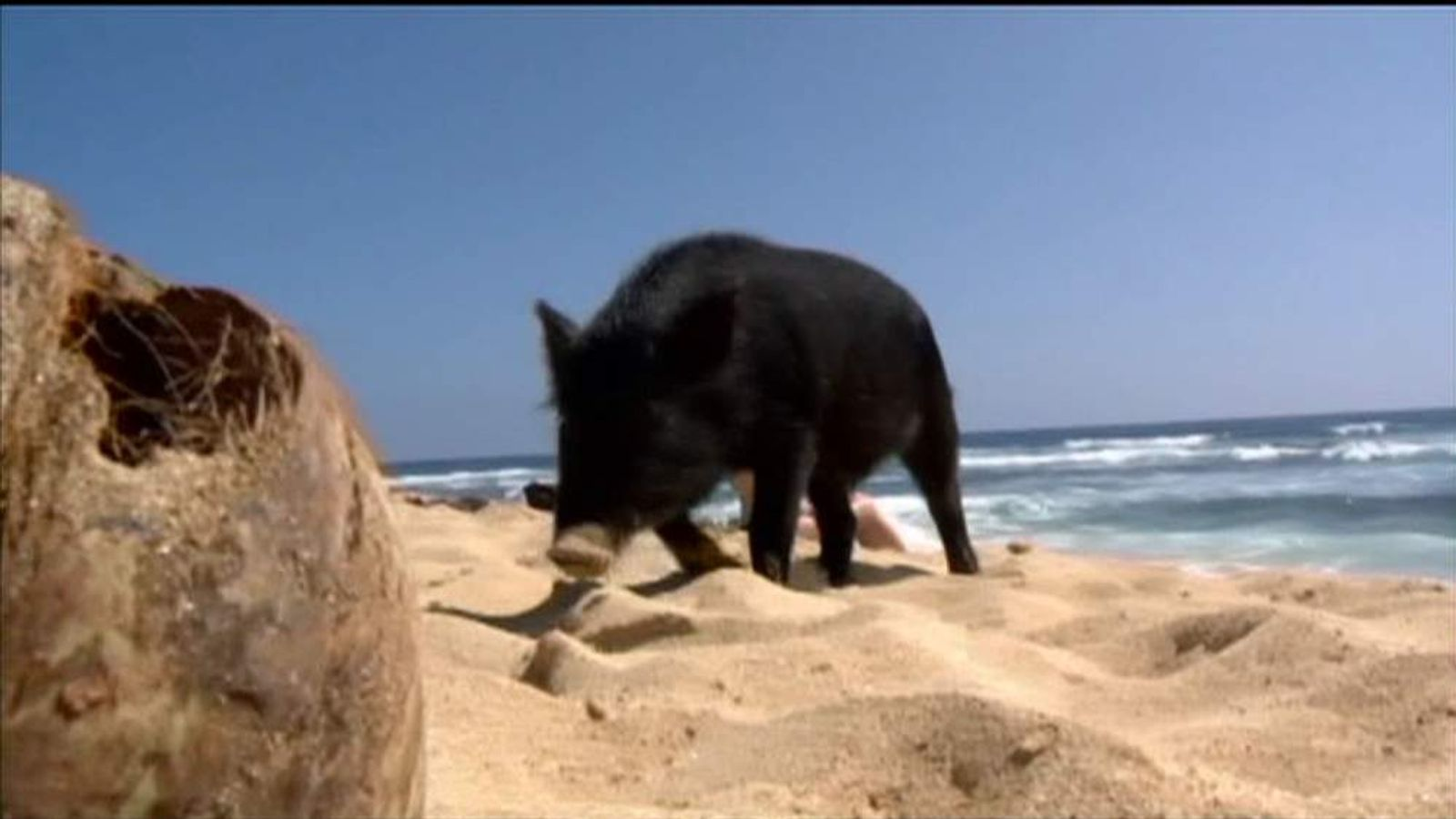 Kama-pooa The Surfing Pig On A Beach In Hawaii
