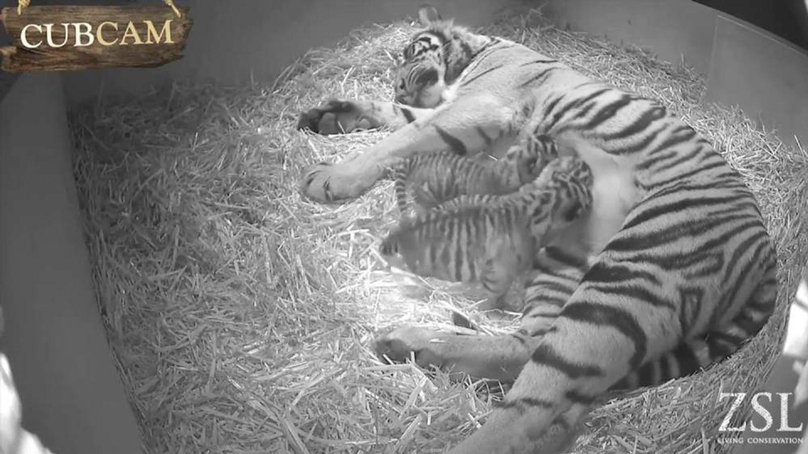 London Zoo Siberian tiger cubs