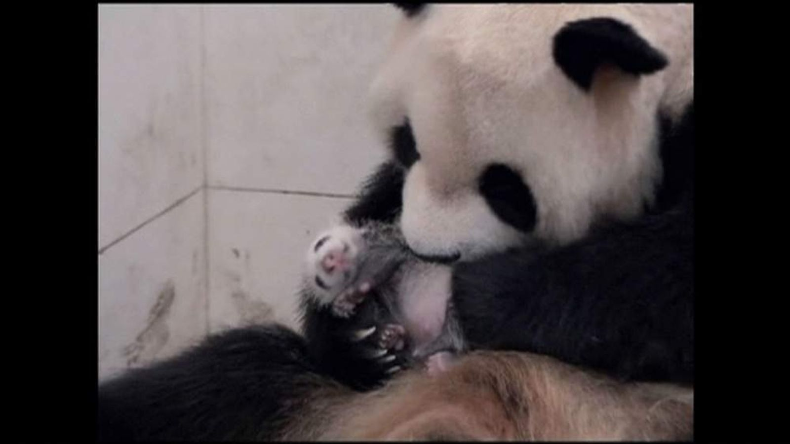 China's first captive-bred panda cub of 2014 has been born in Sichuan province.
