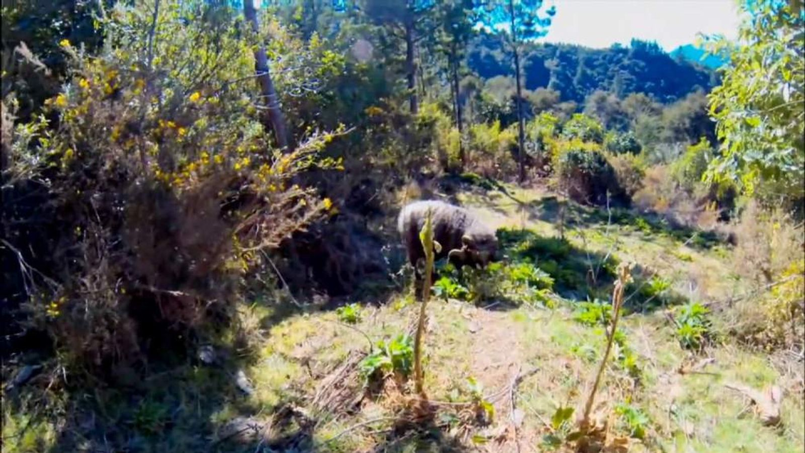 Ram butts a drone after it gets too close, then goes for its owner