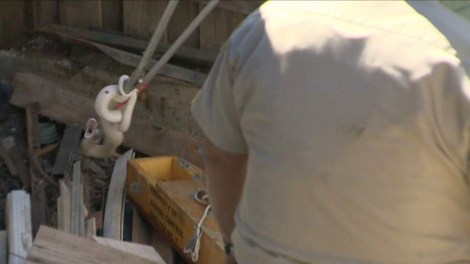 Rare albino cobra recaptured in California